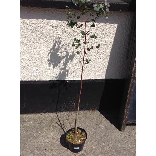 12k - Eucalyptus Gunnii...
