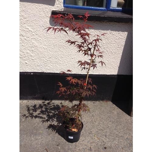 12o - Acer Palmatum - Red Leaf...