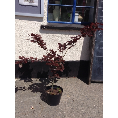 12q - Copper Beech Tree...