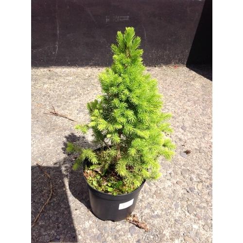 12r - Conifer - Albertiana Conica Dwarf...