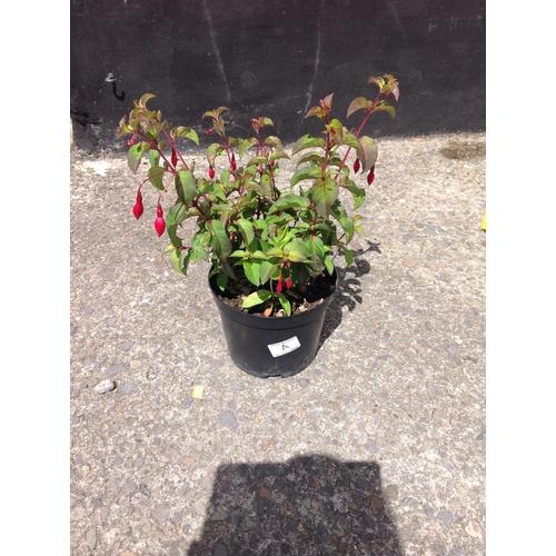 12A - Fuchsia - Mrs Popple...
