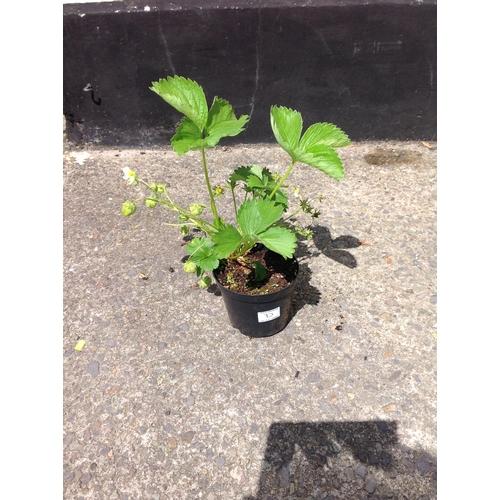 12D - Strawberry Plant...