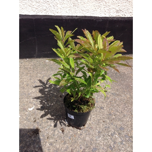 12H - Azalea Luteum Yellow and Scented...