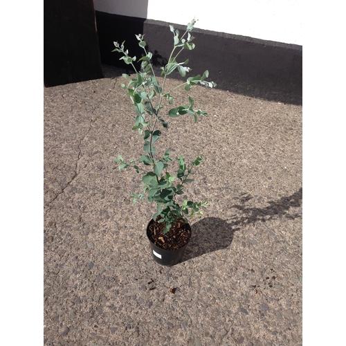 12Q - Eucalyptus Gunii...