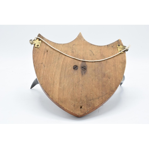 157A - An Edwardian pair of cow horns mounted onto a wooden shield frame. 27cm width. In good condition. (1...