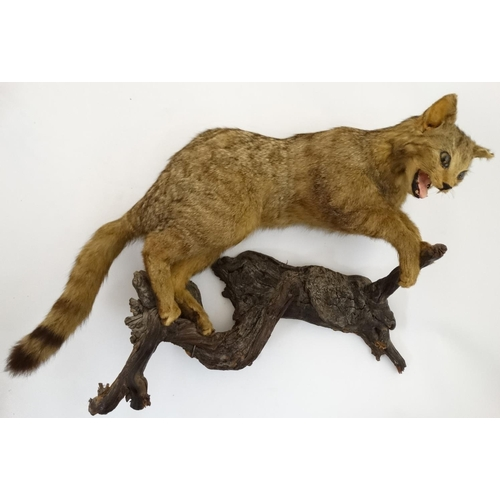 52 - Taxidermy : A full body Mount of a European Wildcat , posed upon a branch . Approximately 30'' long...