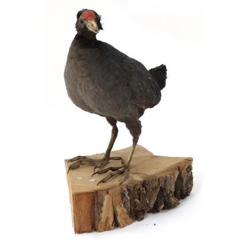 56 - Taxidermy : A full body mount of an Eurasian Moorhen , posed upon a branch . Approximately 13 3/4''...