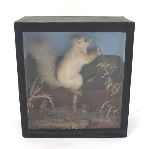 57 - Taxidermy : A cased full mount of a leucistic Red Squirrel , posed upon a branch within natural sett...