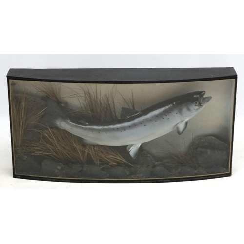 58 - Taxidermy : An Atlantic Salmon , mounted as caught on a fly in naturalistic setting, within a bow fr...