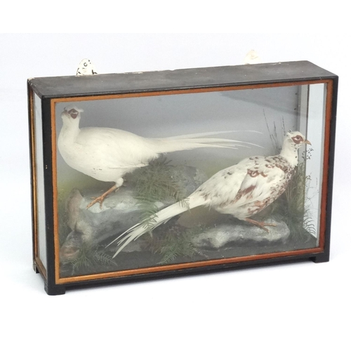 59 - Taxidermy : An early 20thC cased pair of Leucistic Cock Pheasants , placed opposing in naturalistic ...