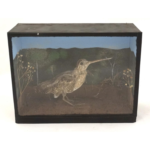 67 - Taxidermy : A cased full mount of a Common Snipe , posed within natural setting . The case 12 3/4'' ...