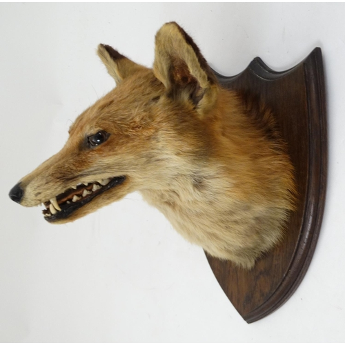 70 - Taxidermy : A Fox mask , affixed to an oak shield , the reverse bearing remains of taxidermists' lab...