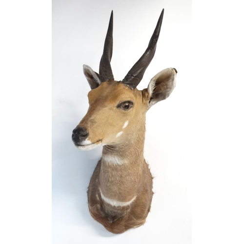 71 - Taxidermy : A head and cape mount of a Bushbok , 26'' tall , 9'' wide , 18'' deep ....