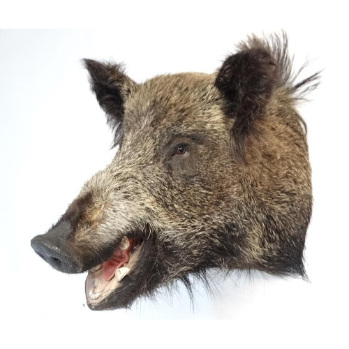 79 - Taxidermy : A head mount of an Eurasian Wild Boar , 15 1/2'' wide , 18'' tall , 15'' wide...