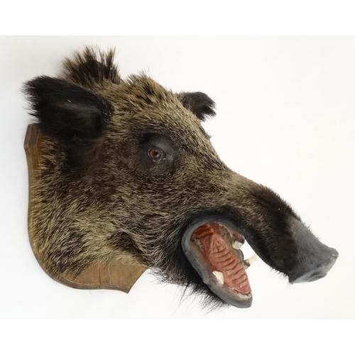 80 - Taxidermy : A Head Mount of an Eurasian Wild Boar , affixed to an oak shield , 19 1/2'' deep...