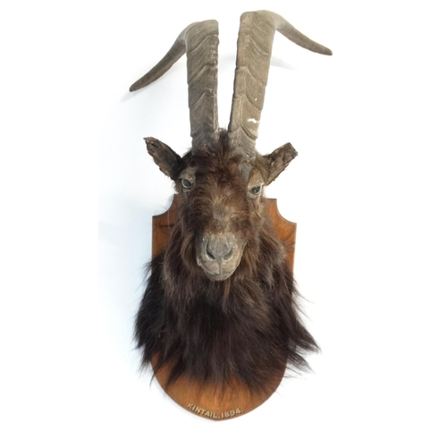 80A - Taxidermy : A head and cape mount of a black Scottish Wild Goat , affixed to an oak shield , inscrib...