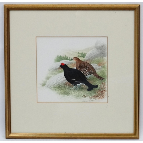 96 - Norman Arlott (1947) Wildlife Illustrator, Watercolour, A brace of Black Grouse Scottish Game Birds,...