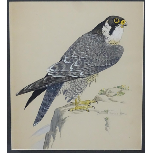 50 - William Neave Parker (1910-1961), Watercolour, 'Peregrine Falcon ', Signed lower right and titled un...