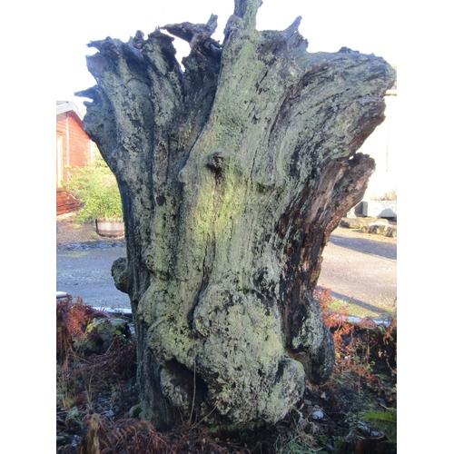 1972 - Large oak root 220 cm high x 200 cm wide...