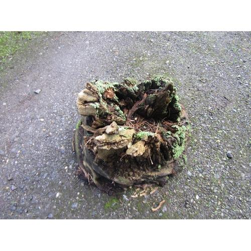 1987 - Oak stump 50 cm wide...
