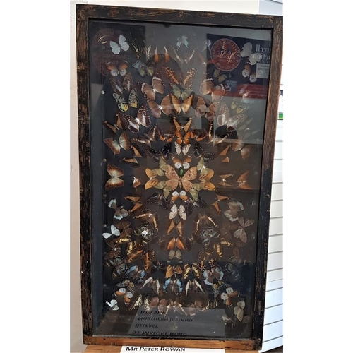 521 - Framed and Mounted Display of Butterflies, c.21 x 36.5in...