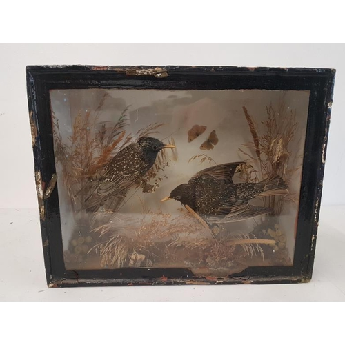 30 - Taxidermy Study of a Pair of Starlings, case c.16 x 12.5in...