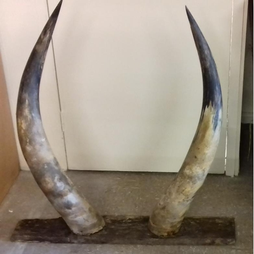 137 - Pair of Mounted Buffalo Horns...
