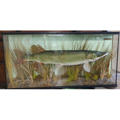 319 - Taxidermy Pike in Glass Display Case - c. 41.5 x 20.5ins...