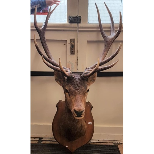 440 - Exceptional Taxidermy Study of a Mature Stag with a pair of 6-point antlers - 63ins tall...