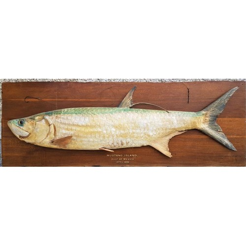 155 - 19th Century Superb Specimen - Tarpon on an Oak backing. Caught Mustang Island, Gulf of Mexico, Apri...