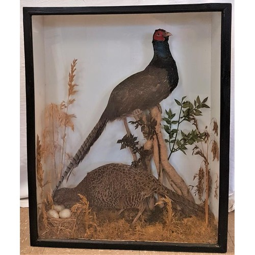 163 - 20th Century Hen and Cock Pheasant and Nest within a Black Case - 30 x 24ins...