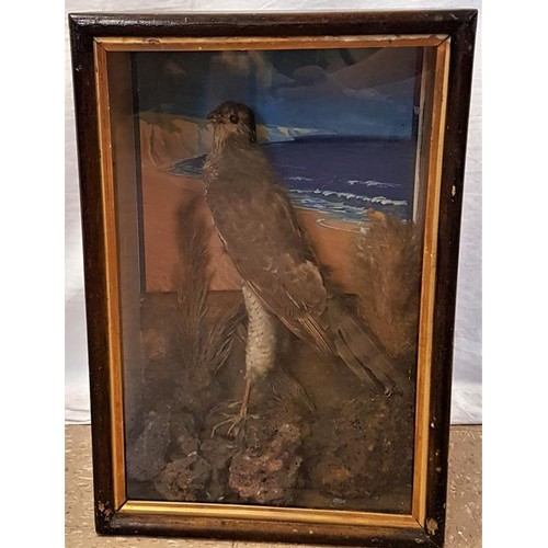164 - 19th Century Natural History Specimen - A cased Sea hawk with seascape behind - 17.5 x 12 x 8i...