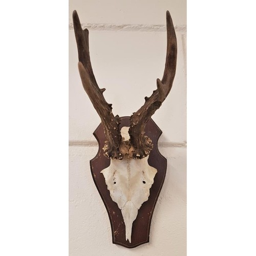 174 - 20th Century Mounted Antelope Skull and Antlers...
