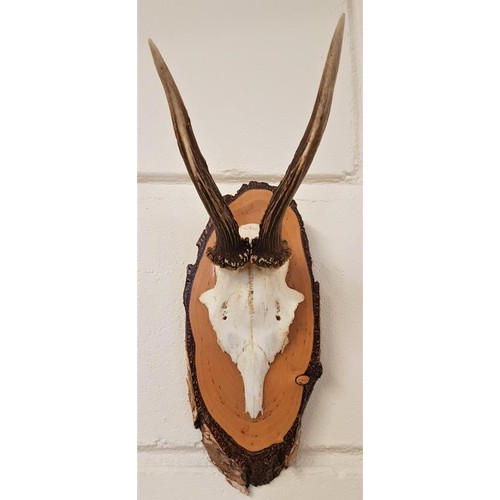 175 - 20th Century Antelope Skull and Antlers...