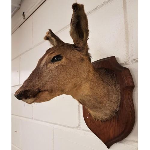 195 - Early 20th Century Mounted Deer Head on Oak Shield Back Mount...