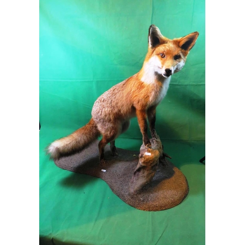 8 - A EARLY TAXIDERMY EXAMPLE OF A FOX - 1920'S...