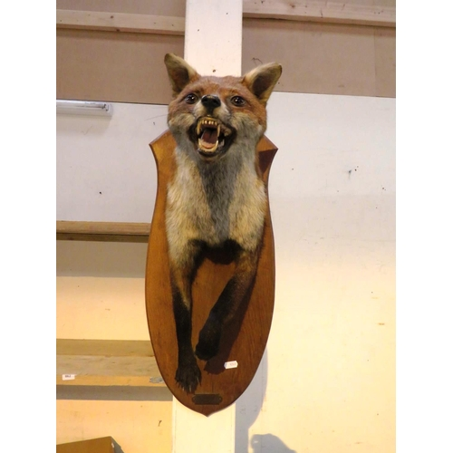 64 - TAXIDERMY FOX ON  A WOODEN WALL MOUNTING PLINTH...