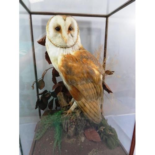 223 - QUALITY TAXIDERMY BARN OWL IN GLASS DISPLAY BOX...