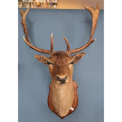 25 - Mounted Deer Head
