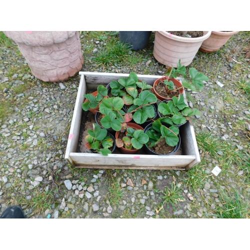 11 - Quantity of strawberry plants...