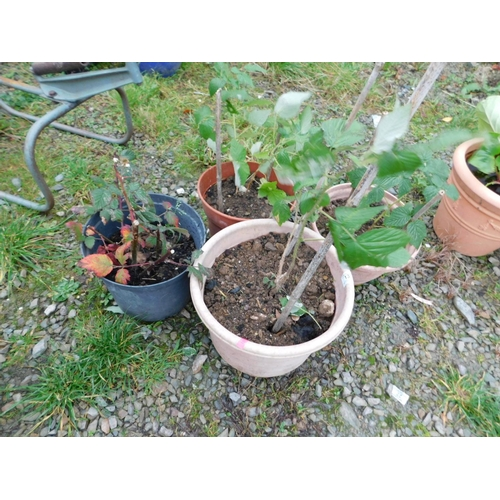 12 - Four mixed fruit plants...