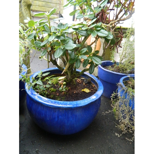 626 - Large Blue ceramic frost free planter with rhododendron shrub...