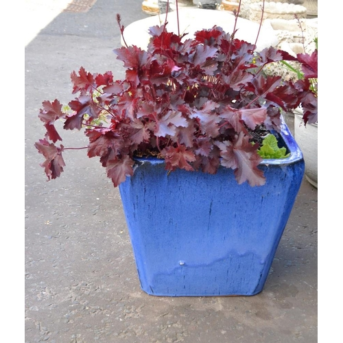 19 - LARGE blue glazed ceramic pots with planted Heuchera...