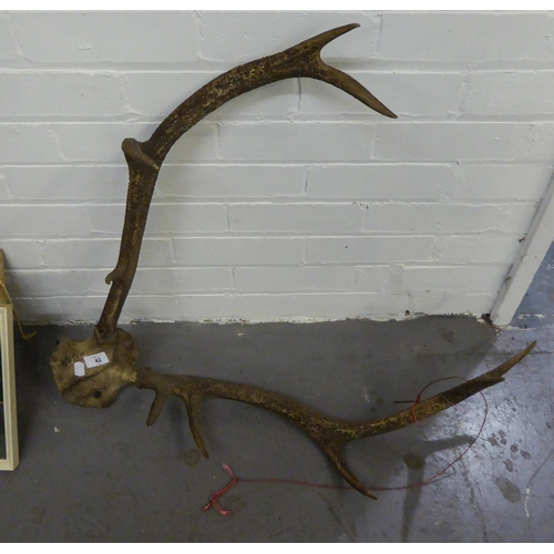 42 - A PAIR OF ANTLERS ATTACHED TO A SKULL BONE...