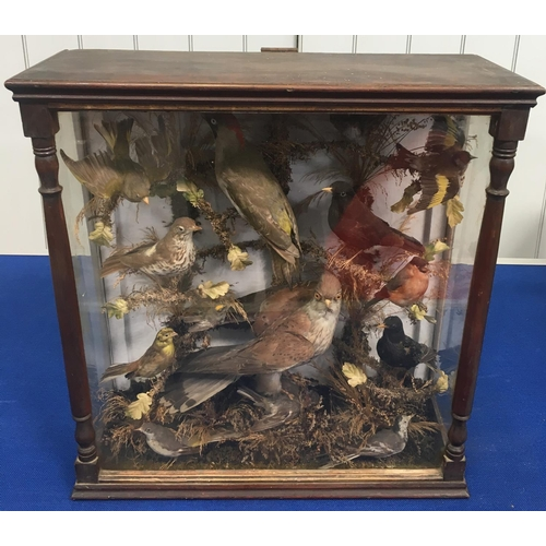 A stunning antique cased Taxidermy. A study of wild British birds, 13 in total. Inludes a Thrush, Wren, Sparrowhawk etc. Dimensions(cm) H61 W58 D23