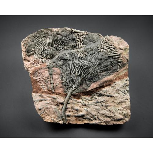 25 - A CRINOID SEA LILY PLATE. (h 23cm x w 26cm)...