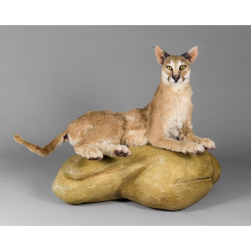 17 - A TAXIDERMY CARACAL FULL WALL MOUNT UPON A NATURALISTIC BASE Namibia September 2008. Taxidermist Nya...