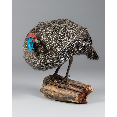 18 - A TAXIDERMY HELMETED GUINEA FOWL UPON A BRANCH WALL MOUNT Namibia September 2008. Taxidermist Nyati ...