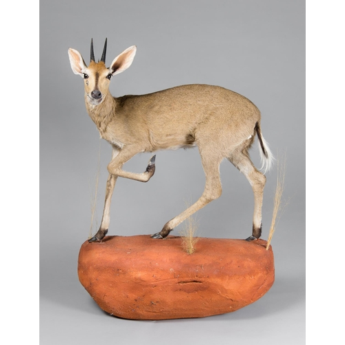 24 - A TAXIDERMY STEENBOK FULL WALL MOUNT UPON A NATURALISTIC BASE Namibia September 2008. Taxidermist Ny...