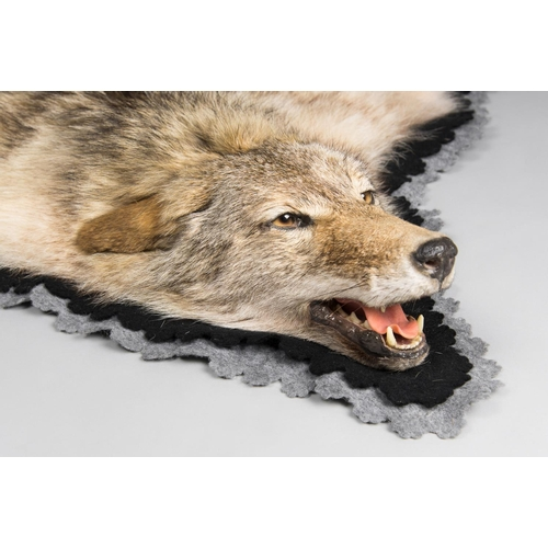 28 - A TAXIDERMY COYOTE SKIN RUG WITH MOUNTED HEAD January 2005 Idaho USA. Documentation: Email from DEFR...